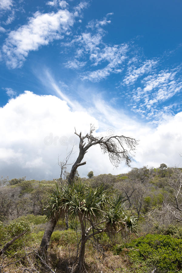 Solitary dead tree, Fraser Island, Australia. Solitary dead tree on Fraser Island bowed down by storm stock images