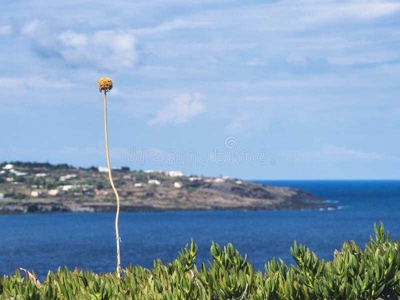 Solitary flower observes the landscape of pantelleria stock images
