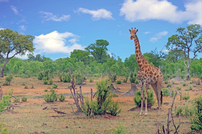 Giraffa camelopardalis - Solitary Giraffe standing in the bush in Hwange National Park, Zimbabwe. A solitary Giraffe Giraffa camelopardalis standing on the open royalty free stock photo