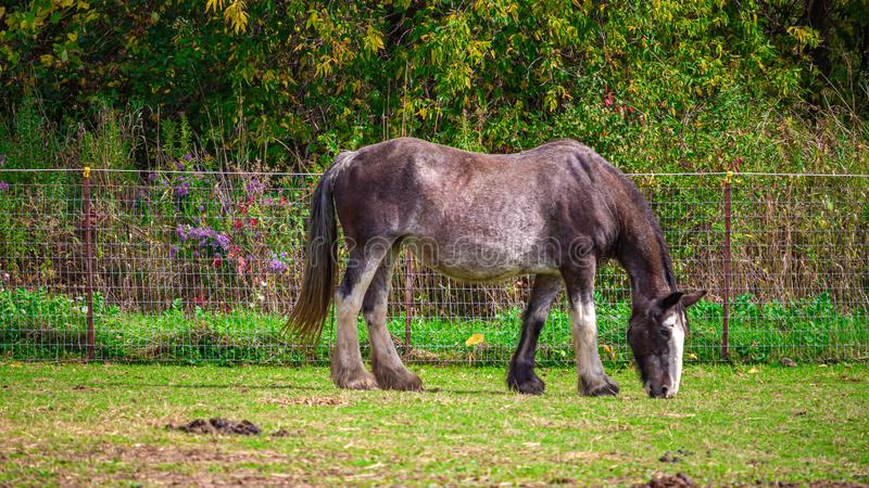 Grazing Horse Grazes for Grass royalty free stock images
