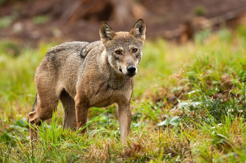 Solitary grey wolf wandering the mountains in summer and looking to camera stock photo