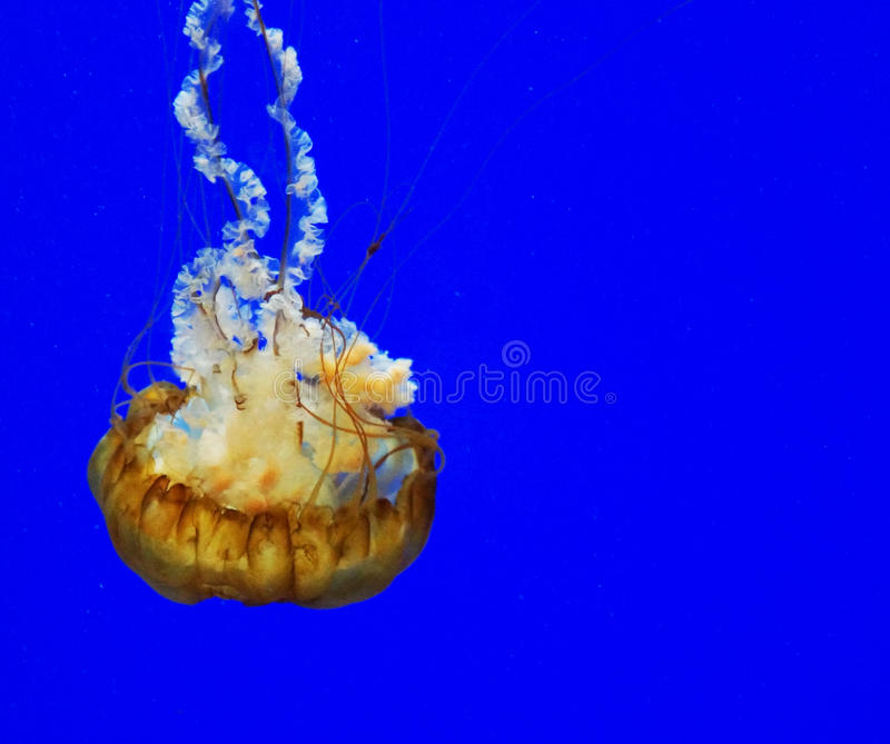 Solitary jellyfish against vivid blue. Lone Pacific Ocean jellyfish swimming against brilliant blue background stock photos