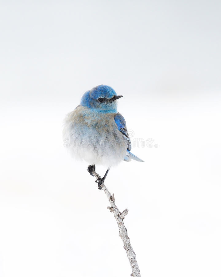 Free Solitary Male Mountain Bluebird Perched On Branch Stock Photos - 16692963
