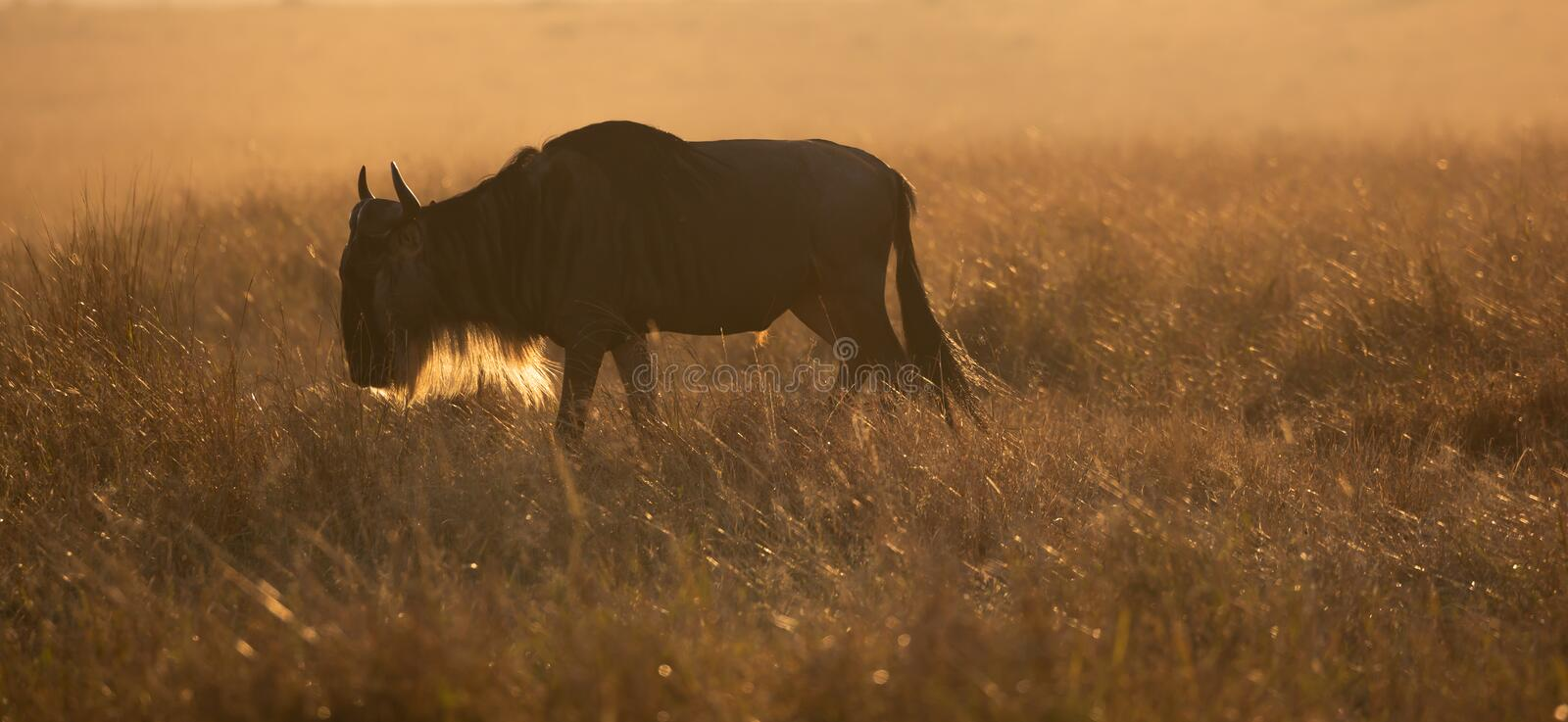 Backlight silhouette of solitary male wildebeest, Connochaetes taurinus, grazing at dawn royalty free stock photography