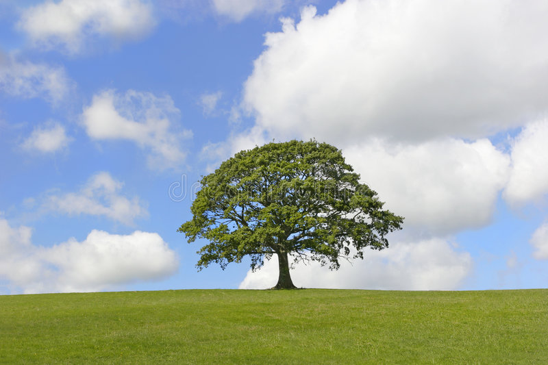 Solitary Oak Tree. Oak tree in full leaf standing alone in a field in summer against a blue sky with cumulus clouds royalty free stock photos