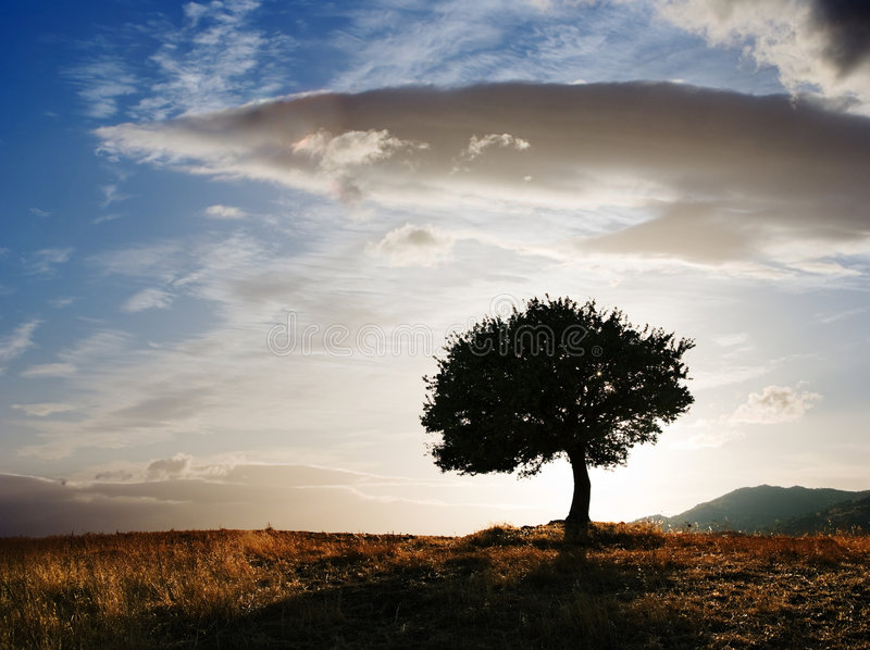 Solitary oak tree stock image
