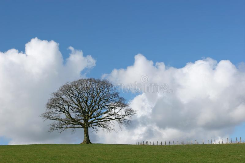 Solitary Oak In Winter stock image