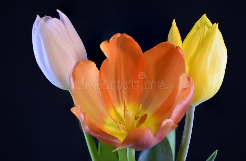 Solitary Orange, yellow and White Tulip Flowers on black background. Solitary Orange, yellow and White Tulip Flowers in studio on black background stock photos