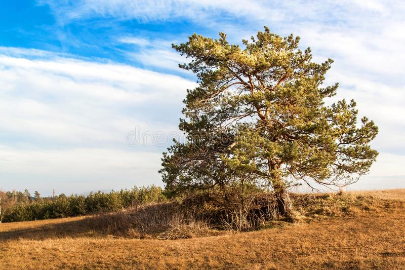 Solitary pine in the foreground of a large field with dried grass on the edge of a forest. Sunny March in the Czech Landscape. stock photo