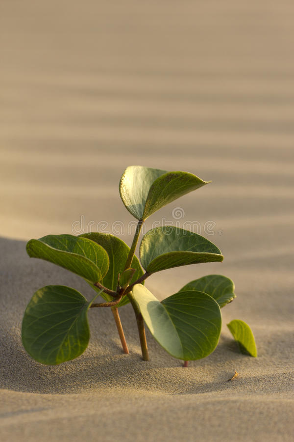 Solitary plant in desert. A solitary fresh sprout thriving on a sand dune royalty free stock images