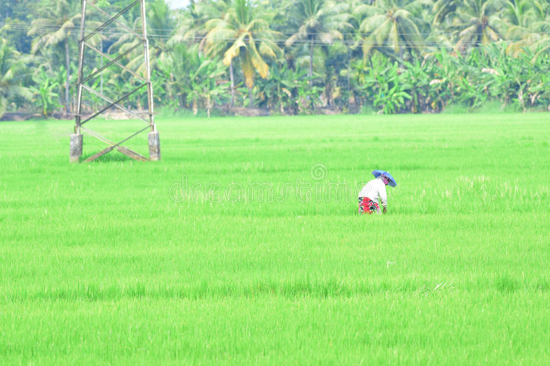 Solitary Reaper. When travelling through Kuttanad, the rice bowl of Kerala, I noticed a woman reaping paddy corns all alone in a vast green field. It was a rare royalty free stock photo