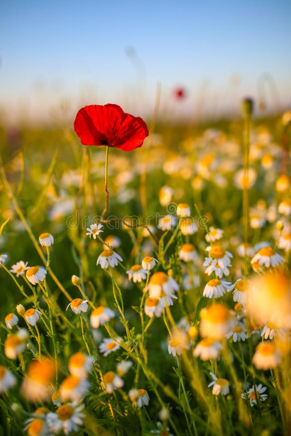 Solitary red poppy flower in the middle of a wheat grain field royalty free stock photography
