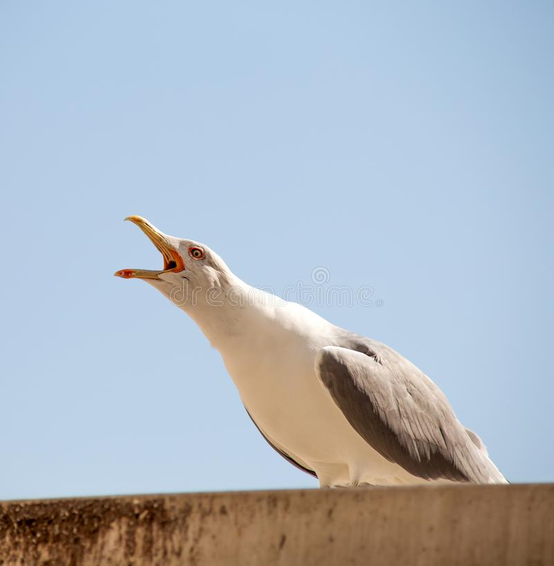 A solitary seagull standing on a roof with its mouth open, screaming stock images