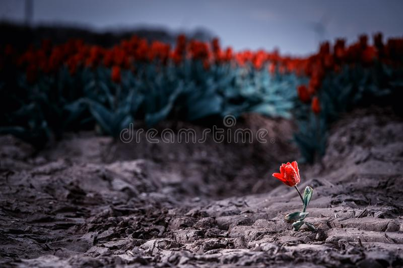 Solitary single flowering tulip in a large bulb field. In late April through early May, the tulip fields in the Netherlands colourfully burst into full bloom royalty free stock photo