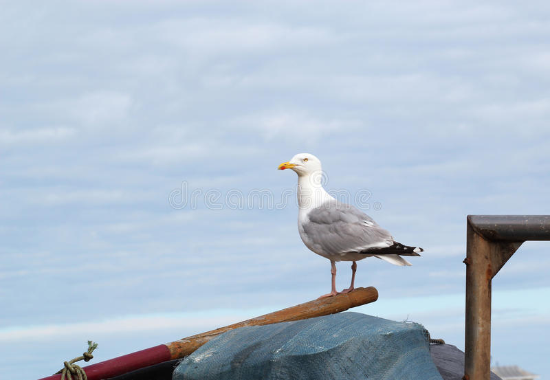 Solitary standing seagull. royalty free stock photos