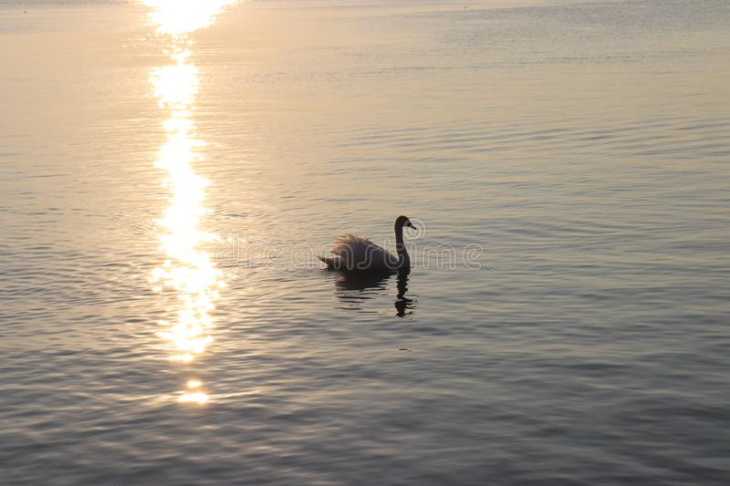 The solitary swan. A swan swimming at sunset stock photo