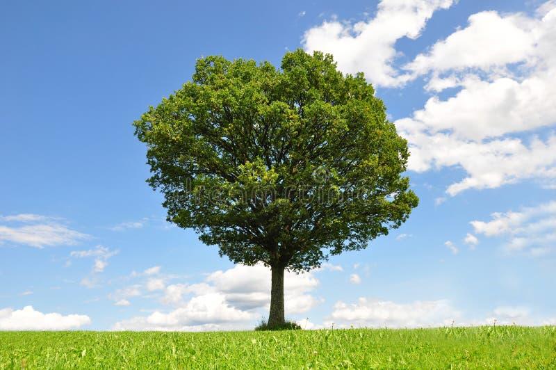 Solitary tree royalty free stock photography