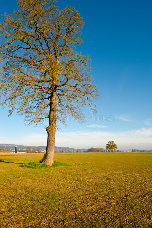 Download Solitary Tree stock image. Image of field, farmland, grass - 26987431