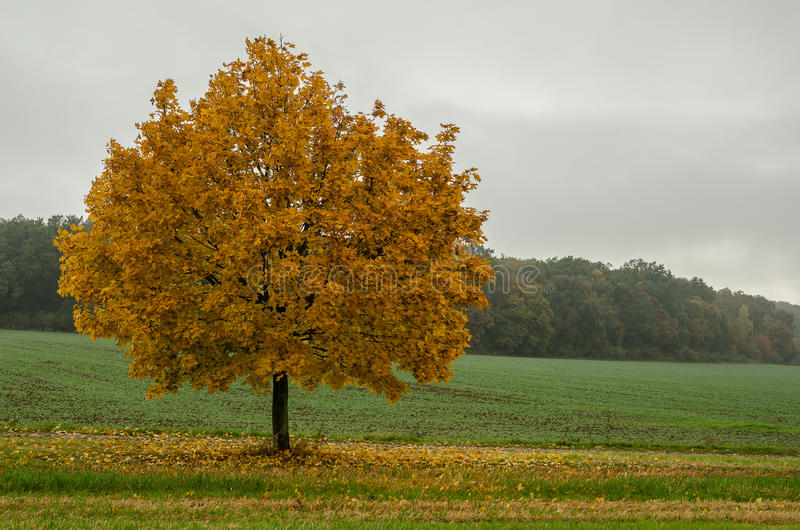 Solitary tree, autumn time royalty free stock images