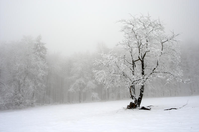 Solitary tree in winter, snowy landscape with snow and fog, foggy forest in the backgroud royalty free stock images