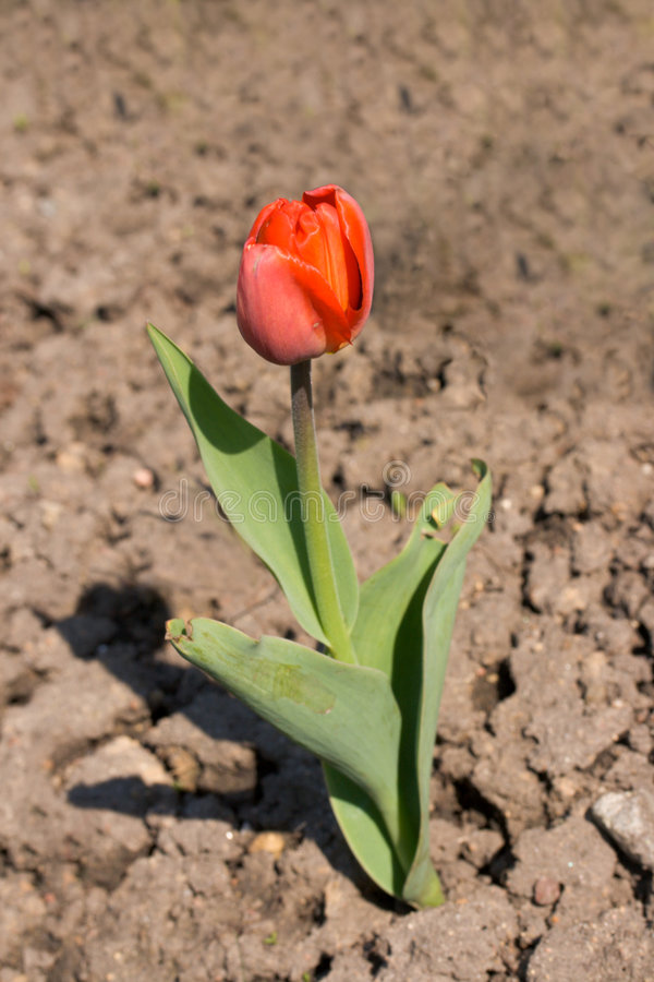 Solitary tulip growing on dry ground royalty free stock photo