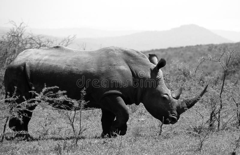 A solitary white rhino in NP, Africa. A solitary white rhino in Hluhluwe - iMfolozi Park, South Africa stock image