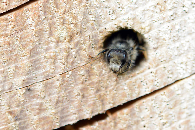 Solitary wild bee Osmia bicornis looking out of a hole in a tr. Ee trunk. insect hotel stock photography