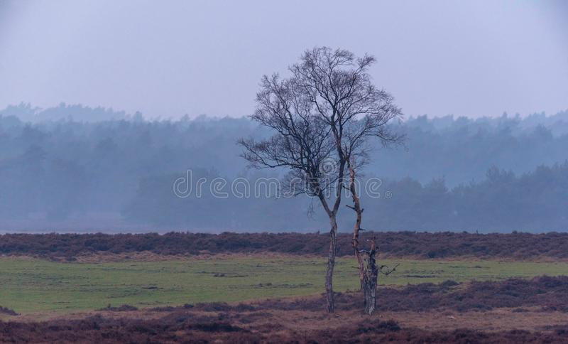 Solitary winter birch tree in misty heather landscape. stock photography