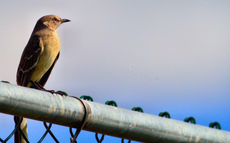 Solitayr-Vogel bei Sonnenuntergang lizenzfreie stockfotografie