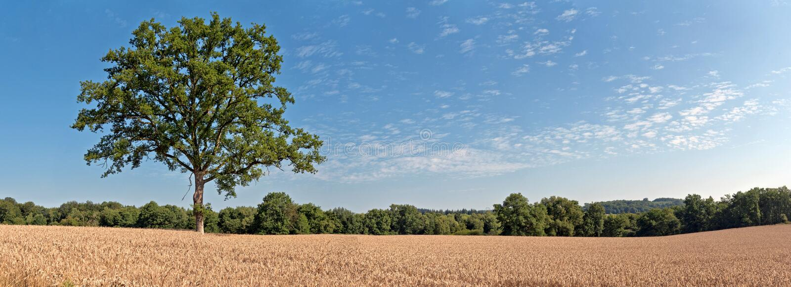 Solitude green tree in wheat field with blue cloudy sky. Panoramic shot. royalty free stock image