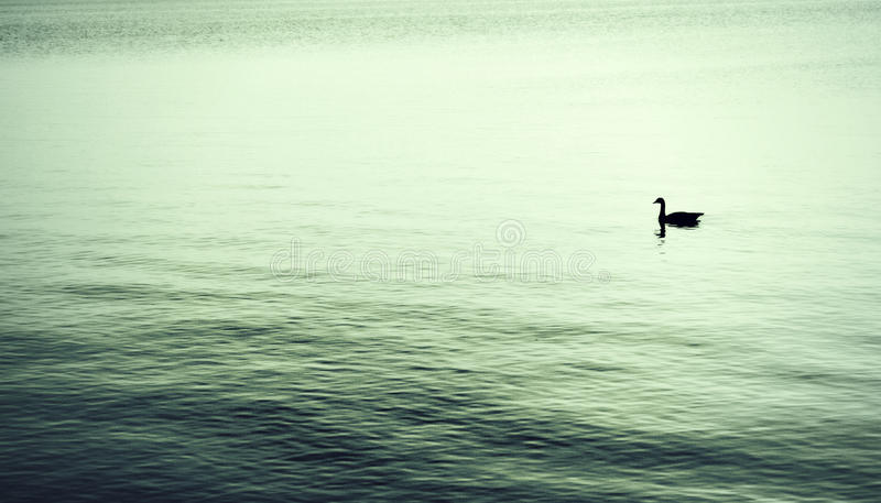 Solitude. A single goose swimming on a lake in a very minimalist way, full of solitude stock photos