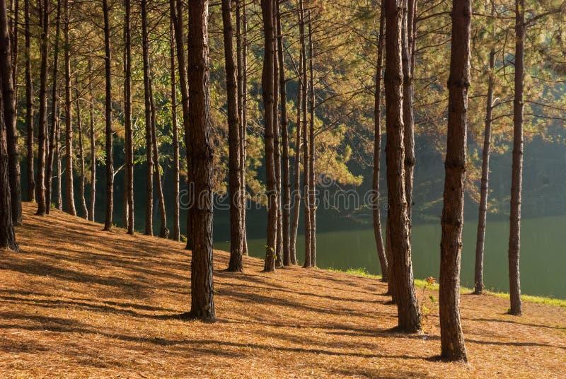 Sollöneförhöjning på sting-ung, pinjeskog arkivbilder