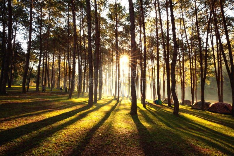 Sollöneförhöjning på sting-ung, pinjeskog i Thailand Populärt ställe för aktivering tältet, campa och loppet fotografering för bildbyråer
