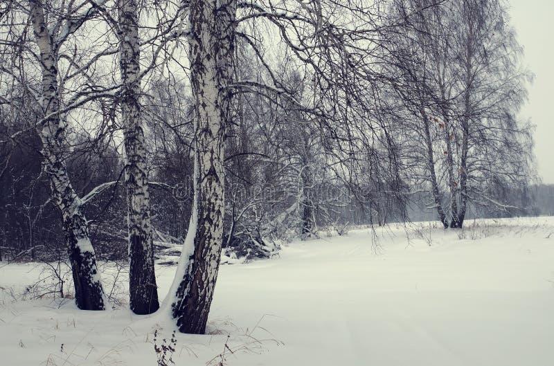 Sollöst kallt vinterlandskap i en björkskog royaltyfri foto