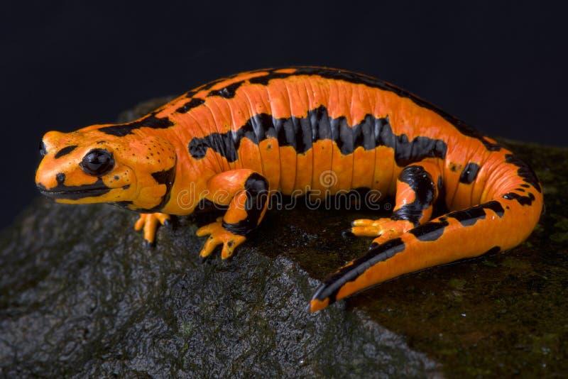 Solling fire salamander, Salamandra salamandra terrestris. The Solling fire salamander, Salamandra salamandra terrestris, is found around the city of Solling stock photo