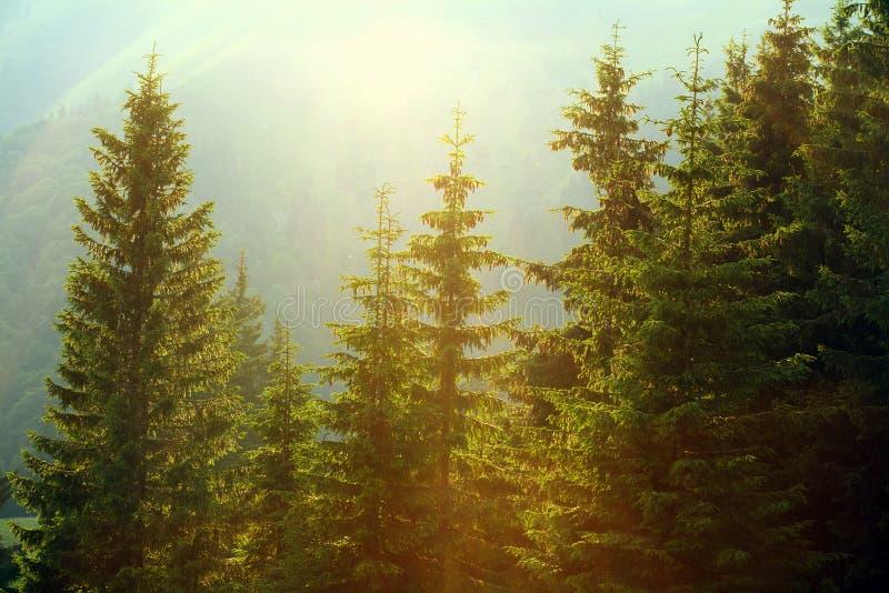 Solljus i prydlig skog i dimman på bakgrund av berg royaltyfri fotografi