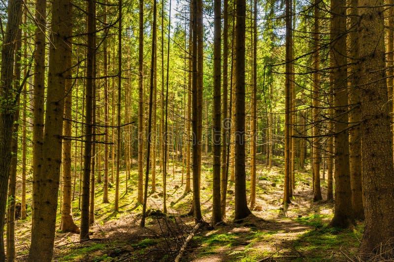 Solljus och skugga sörjer in trädskogen royaltyfri bild