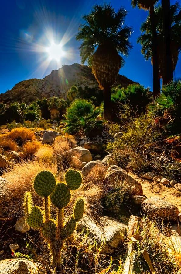 Solljus på ökenoasen - Joshua Tree National Park _Californi royaltyfri foto