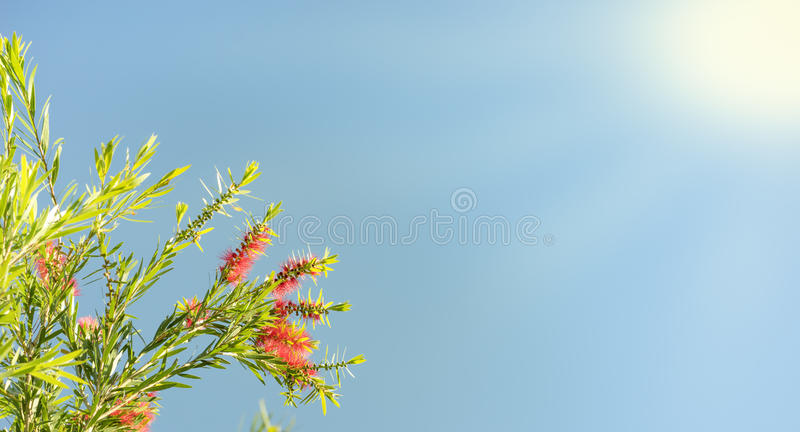Solljus på callistemon blomstrar beklagandebakgrund arkivfoto