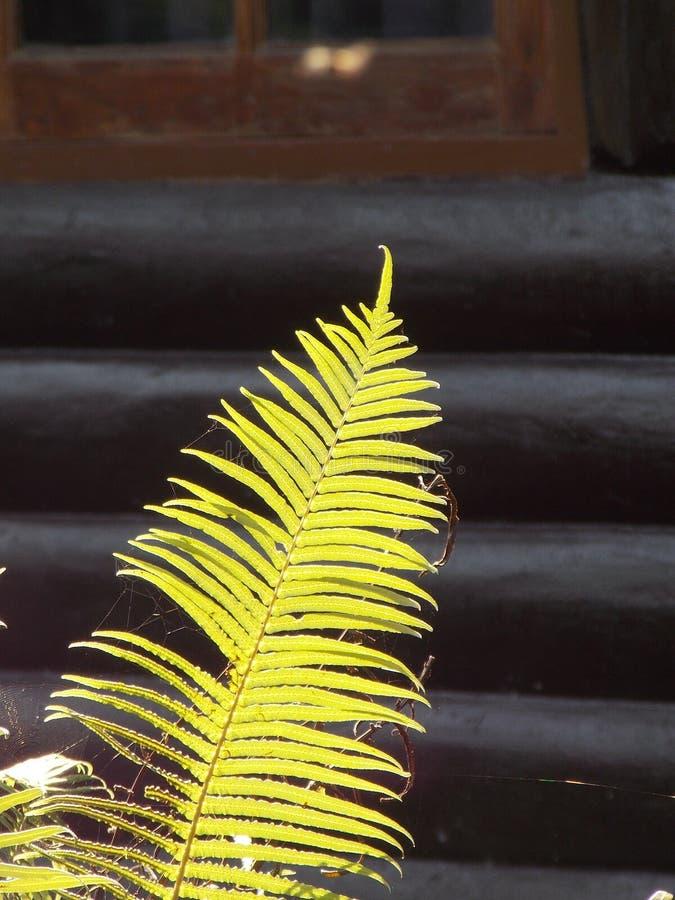 Solljus skiner ormbunken arkivbild