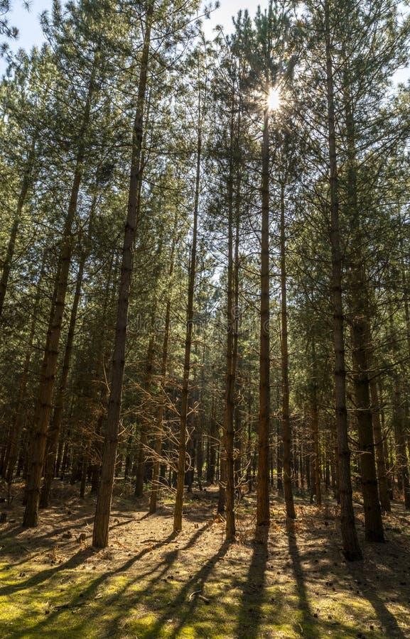 Solljus som brister till och med markisen av skogen royaltyfria foton