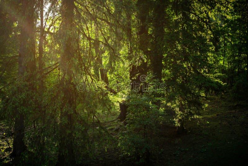 Solljus till och med treesna fotografering för bildbyråer