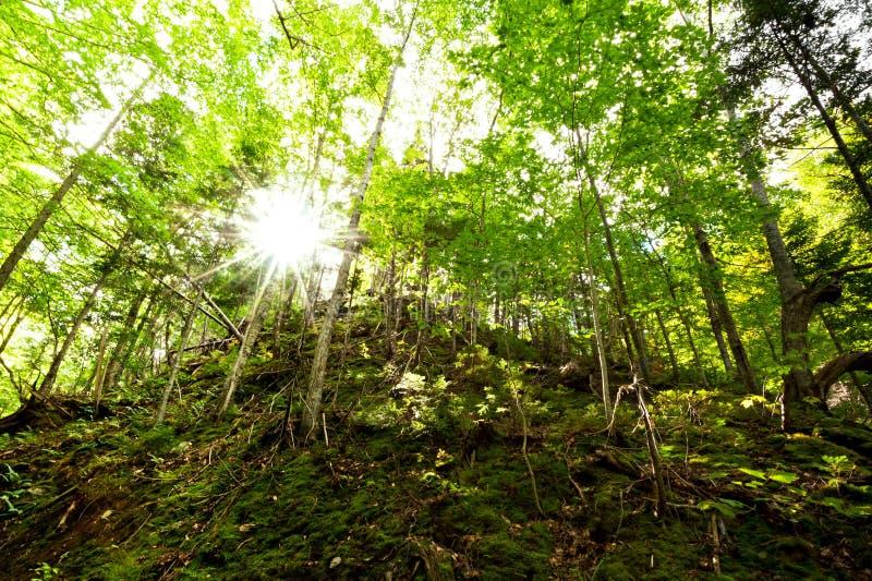 Solljus tränger igenom grön deciduous skogsmark arkivbild