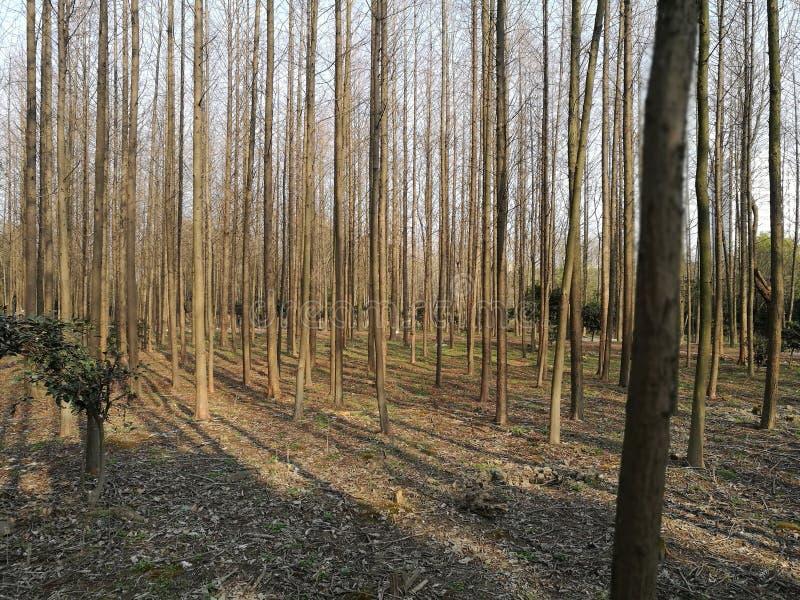 Solljusbortgång till och med skogen fotografering för bildbyråer