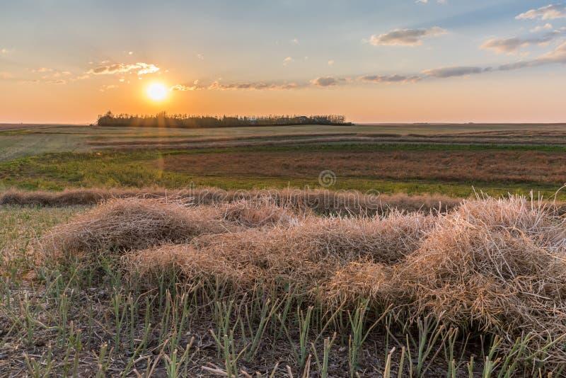 Solnedgång över en canolafältstråk på skörden royaltyfri foto