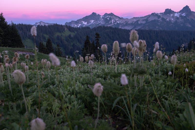 Solnedgång över ett fält av alpina ängblommor till Mount Rainier arkivfoto