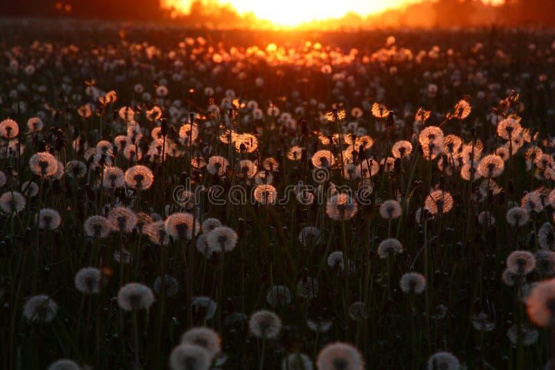 Solnedgång över ett fält med maskrosor arkivbild