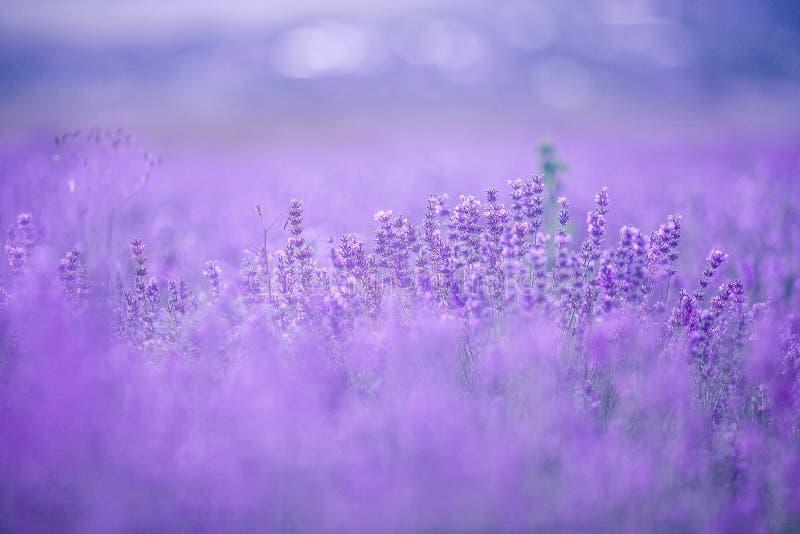Solnedgång över ett violett lavendelfält i Provence royaltyfria foton
