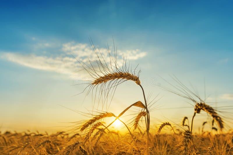 Solnedgång över fält med skörden royaltyfria bilder