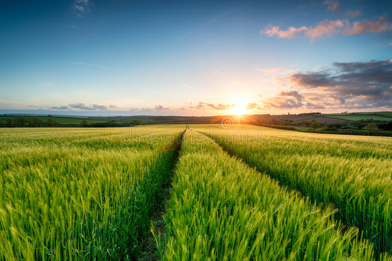Solnedgång över kornfält royaltyfria foton